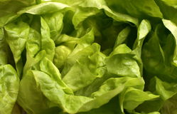 Fresh lettuce Royalty Free Stock Photo