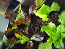Fresh Lettuce. At the beranda Royalty Free Stock Photo