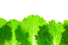 Fresh Lettuce Border / leaves isolated on white royalty free stock image