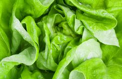 Fresh lettuce close-up. Fresh lettuce with water drops close-up Stock Photography