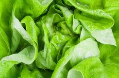 Fresh lettuce close-up Stock Photography
