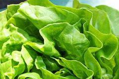 Fresh lettuce close up Royalty Free Stock Images