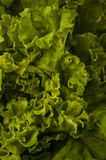 Fresh lettuce close up Stock Photo