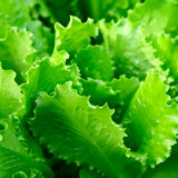 Fresh Lettuce closeup Royalty Free Stock Photography
