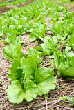 Fresh lettuce in the farm Stock Photos