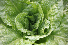 Fresh lettuce Royalty Free Stock Images