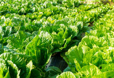 Fresh lettuce in field Royalty Free Stock Photo