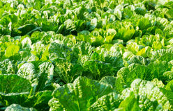 Fresh lettuce in field Stock Images