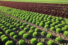 Fresh Lettuce on the Field stock image