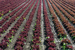 Fresh Lettuce On Field Stock Photo