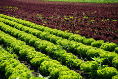 Fresh Lettuce On Field Stock Photos
