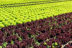Fresh Lettuce On Field Royalty Free Stock Images