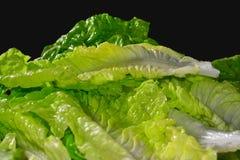 Fresh Lettuce 2 Royalty Free Stock Photo