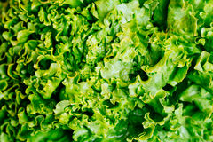 Fresh lettuce or frisse leaves, close up. Stock Photography