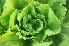 Fresh lettuce in garden Stock Photography