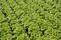 Fresh lettuce in a glass house Royalty Free Stock Image