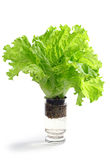 Fresh lettuce in a glass of water Royalty Free Stock Images