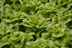Fresh lettuce in a green house Stock Photos