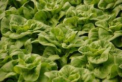 Fresh lettuce in a green house Stock Photos