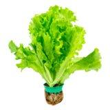 Fresh Lettuce. Fresh Green Lettuce Isolated on White Stock Photo