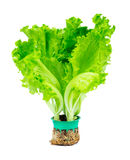 Fresh Lettuce Stock Photography