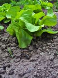 Fresh lettuce growing in soil Stock Photos