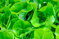 Fresh lettuce growing Royalty Free Stock Images