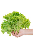 Fresh lettuce  in hand isolated. Fresh lettuce  in hand isolated  on white background Stock Photo