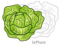 Fresh lettuce head Stock Photos