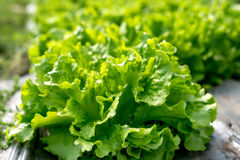 Fresh lettuce in a hothouse. Selective focus stock image