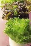 Fresh lettuce hydroponics for health in garden. Stock Images
