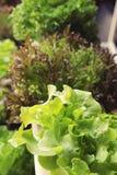 Fresh lettuce hydroponics for health in garden. Stock Photos