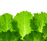 Fresh Lettuce / leaes isolated on white royalty free stock photos