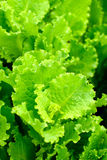 Fresh lettuce leafs royalty free stock photography