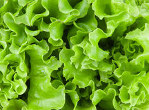 Fresh lettuce leaves Stock Photography