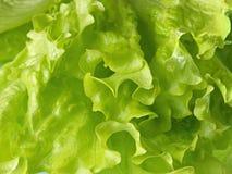 Fresh lettuce leaves. Stock Images