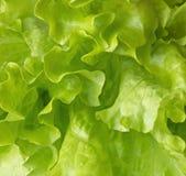 Fresh lettuce leaves. Stock Photos