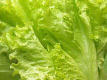 Fresh lettuce leaves. Royalty Free Stock Photography