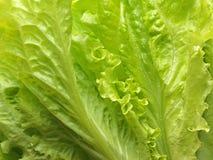 Fresh lettuce leaves. Royalty Free Stock Photo