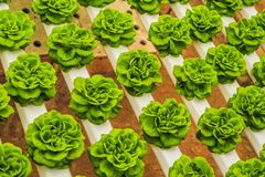 Fresh lettuce leaves, close up.,Butterhead Lettuce salad plant, hydroponic vegetable leaves. Organic food ,agriculture stock photos