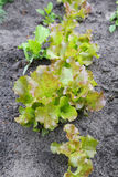 Fresh lettuce leaves in the garden, close up royalty free stock photos