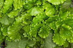 Fresh lettuce leaves after rain Royalty Free Stock Photos