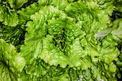 Fresh lettuce leaves after rain. Tinted.  Stock Photos