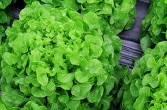 Fresh lettuce leaves vegetables for salad, hydroponic vegetable plant. Fresh lettuce leaves vegetables for salad on light green background, hydroponic vegetable stock photos