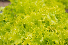 Fresh lettuce in natural settings. Fresh lettuce with lots of green leaves in natural settings Stock Photos