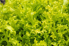 Fresh lettuce in natural settings. Fresh lettuce with lots of green leaves in natural settings Stock Photography