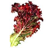 Fresh Lettuce, one leaf isolated on white Stock Photo