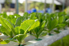 Fresh lettuce in Organic hydroponic vegetable cultivation farm Royalty Free Stock Photography