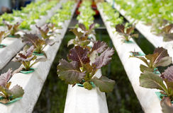 Fresh lettuce in Organic hydroponic vegetable cultivation farm Stock Images