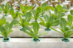 Fresh lettuce in Organic hydroponic vegetable cultivation farm Stock Photography